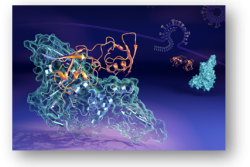 Conformation of Human ISG15 Protein in Complex with SARS-CoV-2 Papain-like Protease
