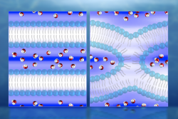 Illustration of neutron diffraction data showing water distribution (red and white molecules) near lipid bilayers prior to fusion (left) and during fusion. Mapping the water molecules is key to understanding the process of cell membrane fusion, which could help facilitate the development of treatments for diseases associated with cell fusion.