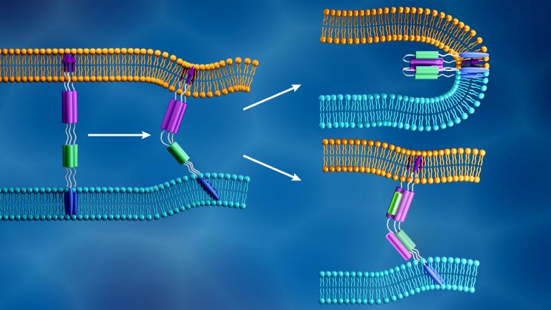 The novel coronavirus membrane (light blue) and the human cell membrane (orange) merge together when
