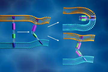 The novel coronavirus membrane (light blue) and the human cell membrane (orange) merge together when